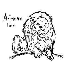 african lion sketch hand drawn vector image