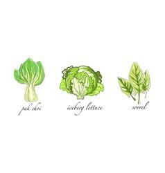 Set salads and leafy vegetables pak choi vector