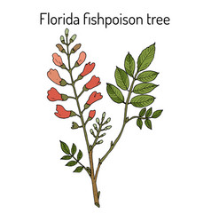 florida fishpoison tree or jamaican dogwood or vector image