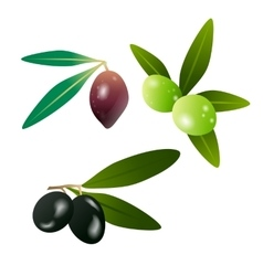 Green olives and dark olives on branch with leaves vector image vector image