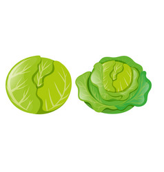 cabbages on white background vector image