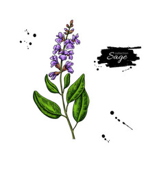 Sage drawing isolated plant with flower vector