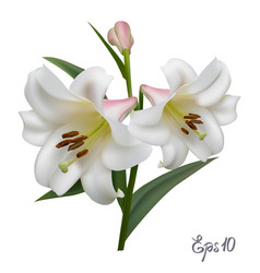 white lily on a white background vector image