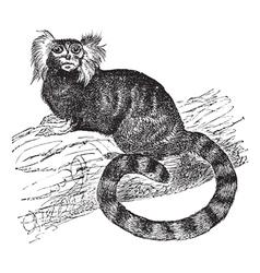 Common marmoset vintage engraving vector image vector image
