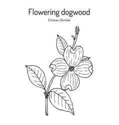 Flowering dogwood cornus florida state flower of vector