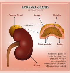 adrenal gland image vector image