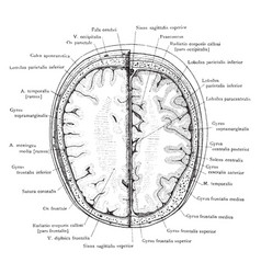 cross section of head 3 cm above supraorbital vector image