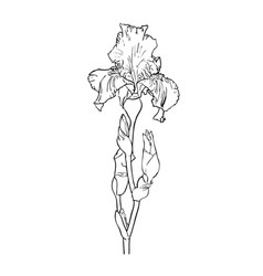 Flower of iris vector