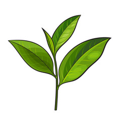 Hand drawn fresh green tea leaf bud twig vector