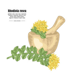 rhodiola rosea branch and wooden bowl isolated on vector image