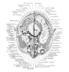 Cross section of head through lower portion of vector