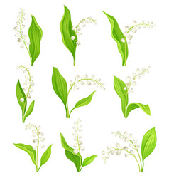 Lily valley with oblong leaves and flowers vector