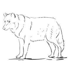 wolf drawing on white background vector image