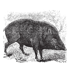 Collared peccary vintage engraving vector image vector image