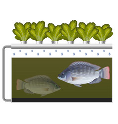 Aquaponics system with tilapia fish and lettuce vector