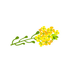 rapeseed flowers cartoon vector image