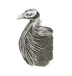 Acryllium vulturinum monochrome graphic vector