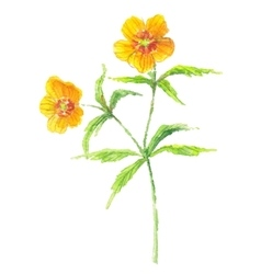 Buttercup yellow flower vector image