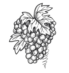 Bunch of grapes freehand pencil drawing vector image