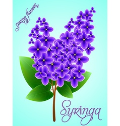 Spring background with beautiful blooming lilac vector image