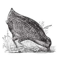 American Woodcock vintage engraving vector image