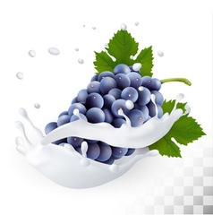Blue grapes in a milk splash on a transparent vector image