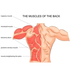 Muscles of the back bodybuilder vector