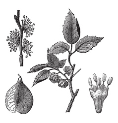 Elm vintage engraving vector image
