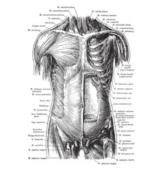 Anterior view of the muscles of the trunk vintage vector