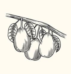 pear tree vintage sketch vector image