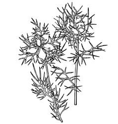 plant nigella damascena vector image