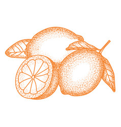 Citrus fruits sketch vector
