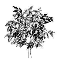 Young arabica coffee tree isolated on white vector