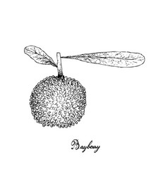 Hand drawn of bayberry fruit on white background vector