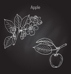hand drawing apple tree branch vector image