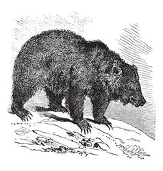 Bear vintage engraving vector