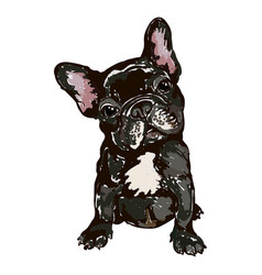 Dog breed french bulldog vector