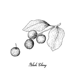 Hand drawn of black cherries on white background vector