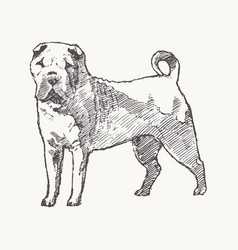 shar pei hand drawn dog realistic sketch vector image