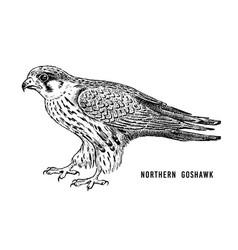 northern goshawk wild forest bird of prey hand vector image