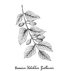 Hand drawn of canarium subulatum guillaumin on whi vector