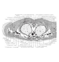 Cross section of the trunk above the manubrium vector