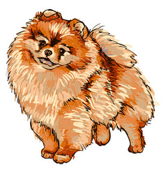 Dog breed pomeranian vector
