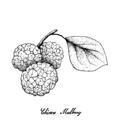 Hand drawn of chinese mulberries on white backgrou vector
