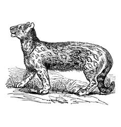 Snow leopard vintage engraving vector