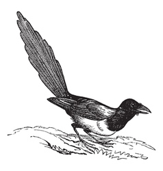 Magpie Pica vintage engraving vector image vector image