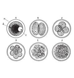 Cell development vintage vector
