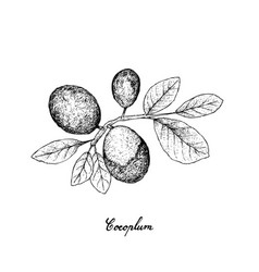 Hand drawn of cocoplum fruits on white background vector