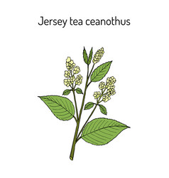 Jersey tea ceanothus ceanothus americanus or red vector
