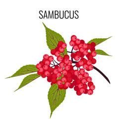 sambucus ayurvedic medicinal herb elder or vector image